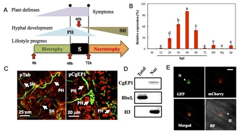 A fungal effector with host nuclear localization and DNA-binding properties is required for maize anthracnose development | Colletotrichum | Scoop.it