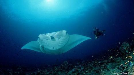 What's in your soup? It could be manta ray ! | Rays' world - Le monde des raies | Scoop.it