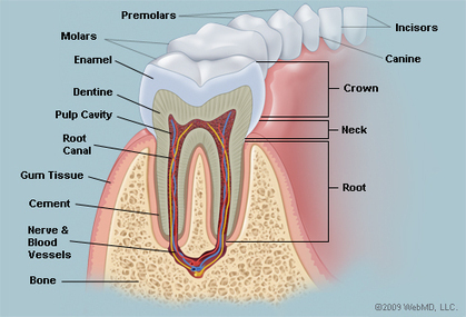 The Teeth (Human Anatomy): Diagram, Names, Number, and Conditions | Teeth and Eating | Scoop.it