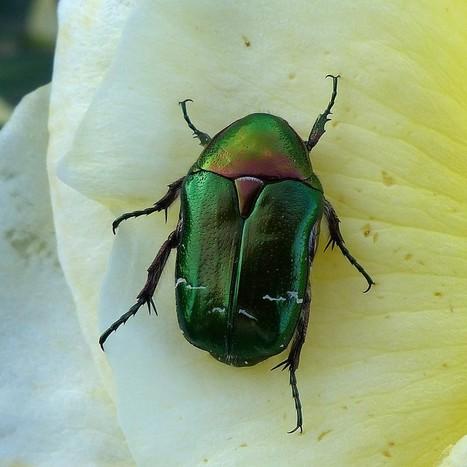 Photos de scarabées : Cétoine dorée - Cetonia aurata - Scarabeus auratus - Green rose chafer | Fauna Free Pics - Public Domain - Photos gratuites d'animaux | Scoop.it