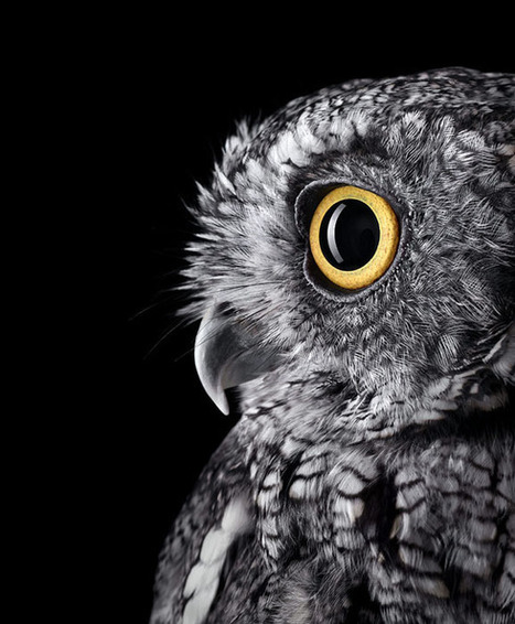 Studio Portraits of Owls That Capture Their Nobility and Personalities | xposing world of Photography & Design | Scoop.it
