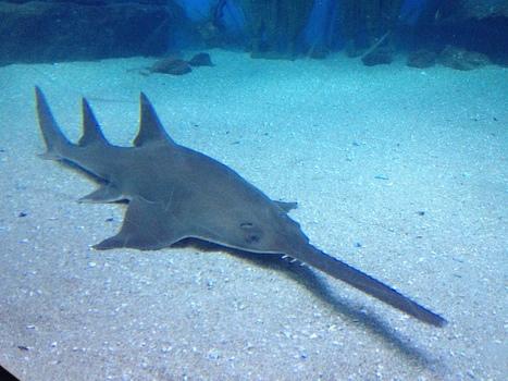 Proposal No.45 Freshwater sawfish | Depletion of sawfish | Scoop.it
