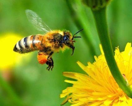 L'intensification agricole affecte la pollinisation et la rentabilité | Chimie verte et agroécologie | Scoop.it