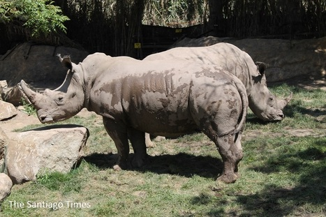 First rhinos to ever set foot in Chile.   Environment.   Scoop.it