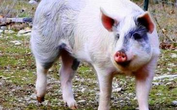 Jigsaw Escapes Hog Farm: Video of Him Eating Peanuts at ... | Gardening eye doctor | Scoop.it