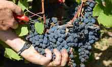 Wine prices set to rise after poor grape harvest, warns Majestic boss | econ1 | Scoop.it