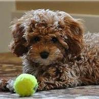 Logran crear el eterno cachorro: ¿el nuevo perro capricho?   4º de ESO. Bloque 3: La evolución de la vida   Scoop.it