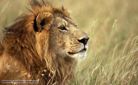 BBC Nature - Lion videos, news and facts | HELPING ANIMALS IN DANGER by Oumnia | Scoop.it