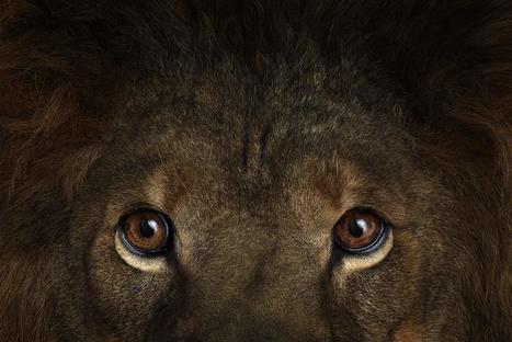 Incredible Studio Portraits of Wild Animals by Brad Wilson | Zoological Gardens of the Bridgelfish | Scoop.it