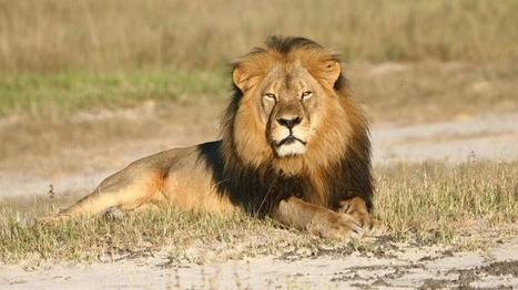 Senate Bans Importing Lions, Others Under Cecil's Law | Trophy Hunting: It's Impact on Wildlife and People | Scoop.it