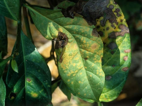 Nature News: Coffee rust regains foothold (2013) | Plants and Microbes | Scoop.it