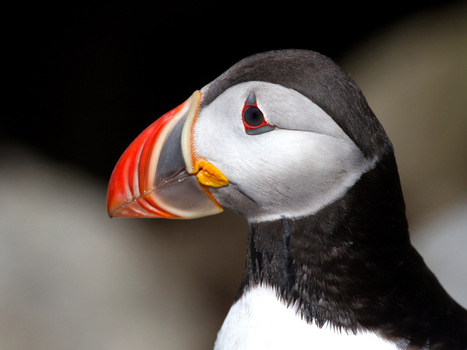 Middleboro Review: Puffins as Canary in the Oceans | Helping Wildlife Conservation Through Art | Scoop.it