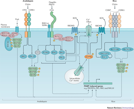 Nat Rev Immun: Regulation of pattern recognition receptor signalling in plants (2016) | Publications from The Sainsbury Laboratory | Scoop.it