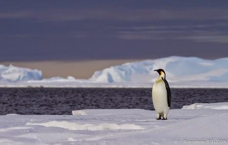 Faucon adélie: Un dernier au revoir avant l'hivernage en Terre Adélie #DDU #TAAF #Antarctique | Hurtigruten Arctique Antarctique | Scoop.it