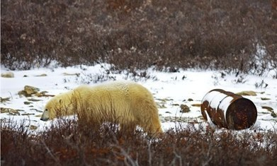 Polar bear numbers in Hudson Bay of Canada on verge of collapse | Sustain Our Earth | Scoop.it