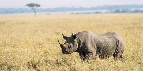 Every Last Rhino Could Be Gone In 10 Years. www.huffingtonpost.com. By the