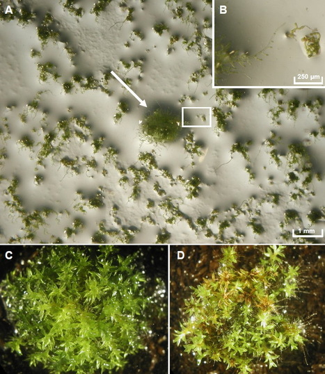 Genetic analysis of Physcomitrella patens identifies ABSCISIC ACID NON-RESPONSIVE (ANR), a regulator of ABA responses unique to basal land plants and required for desiccation tolerance | plant cell genetics | Scoop.it