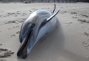 Dead dolphins: Autopsies underway in mass killing, 400 animals lifeless on beach - Examiner.com | Amocean OceanScoops | Scoop.it