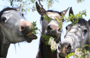 Some French Refuse to Abandon Love for Horsemeat Even as Britons Choke on Scandal   TIME.com   It's Show Prep for Radio   Scoop.it