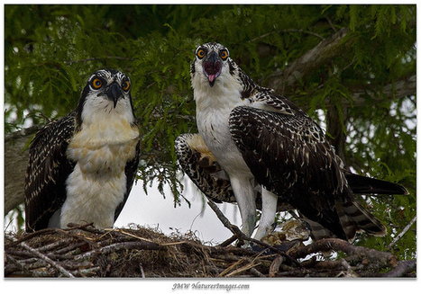 Blue Cypress Lake Juveniles | Photos4Share | Scoop.it