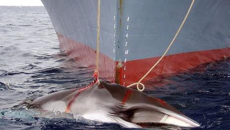 Australia, Japan clash at whaling talks | Australia's Regional and Global Links | Scoop.it