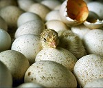 High Temperature During Incubation Boosts Hatchability, Growth | Research from the NC Agricultural Research Service | Scoop.it