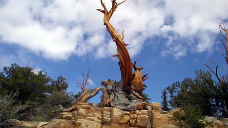 Los árboles más antiguos del planeta . | Sociedad 3.0 | Scoop.it
