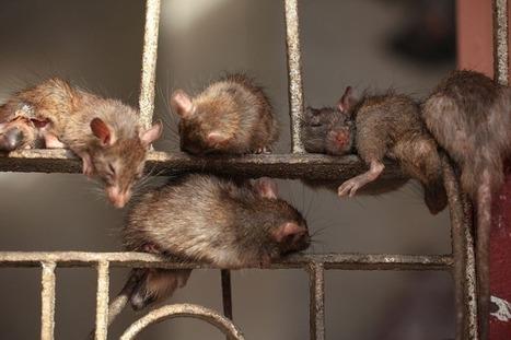 Story of Karni Mata and Rats | totalbhakti | Scoop.it