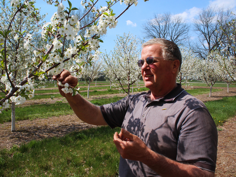 Inside A Tart Cherry Revival: 'Somebody Needs To Do This!' | Bio { Cultural } Diversity | Scoop.it