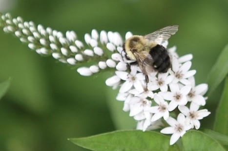 Bee Battles: Why Our Native Pollinators Are Losing The War | Beekeeping | Scoop.it