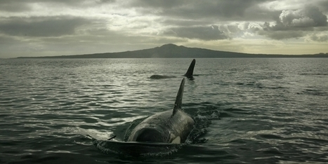 Fears for orca whales in harbour plan - National - NZ Herald News | Oceans and Wildlife | Scoop.it