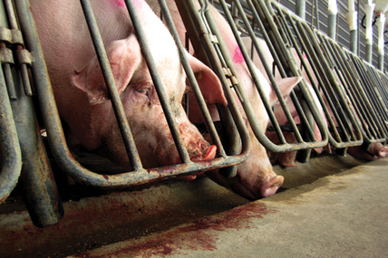 Only we can stop inhumane factory farming | What you need to know about animal abuse in society today | Scoop.it
