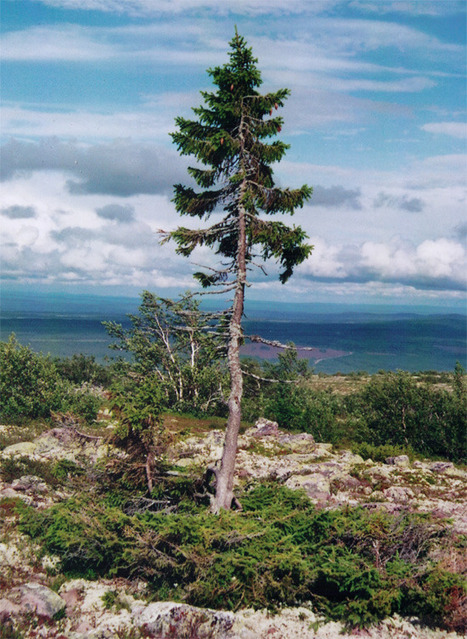 6 of the Oldest Trees in the World - Mental Floss | Agricultural Biodiversity | Scoop.it