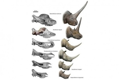 New Tandem-Horned Fossil Provides Missing Link To Unicorn Rhino - RedOrbit | Geology | Scoop.it