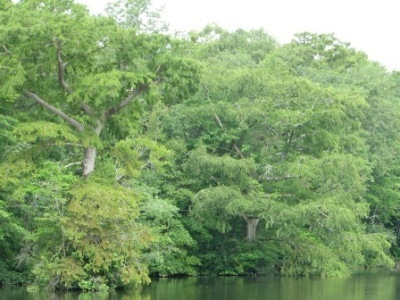 Cypress Swamps | Chesapeake Bay News | Battle Creek Cypress Swamp | Scoop.it