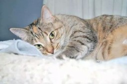 Protect Your Cat From Feline Pyometra Before It's Too Late | Catnip Daily | Scoop.it
