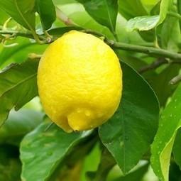 FreshFruitPortal.com » Turkey looks to stimulate domestic citrus market as exports decline | Fruits & légumes à l'international | Scoop.it