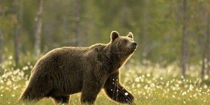 Caméra embarquée : balade dans la peau d'un ours brun - La République des Pyrénées - 16 avril 2014 | osos en el Pirineo | Scoop.it