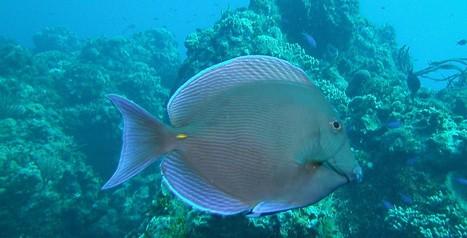 Fish Id, a quick look - Joe's Scuba Shack | Scuba Diving | Scoop.it