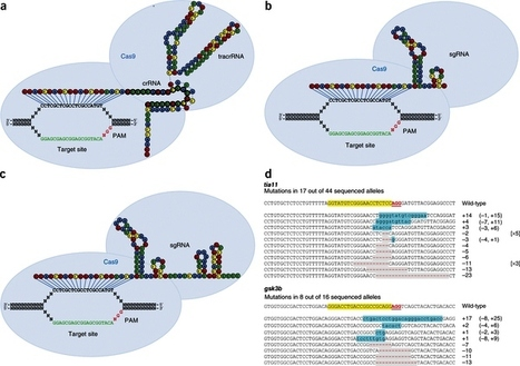 Efficient genome editing in zebrafish using a CRISPR-Cas system | CRISPR-Cas genome editing | Scoop.it