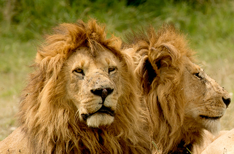 VICTORY! African Lion receives real protections under US Endangered Species Act   Trophy Hunting: It's Impact on Wildlife and People   Scoop.it
