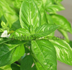 Basil Oil Suppliers, Buy Pure Holy Basil Oil | Essential Oils | Scoop.it