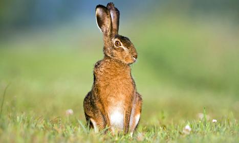 Wild hares carry sheep worms - ScienceAlert   Animal Science   Scoop.it