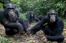 Chimpanzee brain power is strongly heritable | Amazing Science | Scoop.it