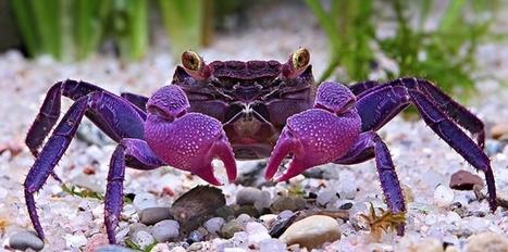 Deux nouvelles espèces de crabes vampires découvertes à Java | EntomoNews | Scoop.it