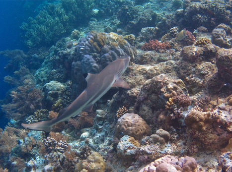Snorkellers can help protect Micronesian sharks - Vancouver Sun | Scuba Dive Travel | Scoop.it