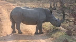 Poachers kill eight rhinos in Brits reserve | What's Happening to Africa's Rhino? | Scoop.it