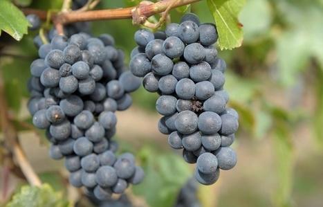 Alsace: Le vin bio s'enracine | Winemak-in | Scoop.it