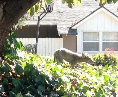Limping coyote spotted in La Cañada neighborhood   aspect 3: problems if management didn't exist   Scoop.it