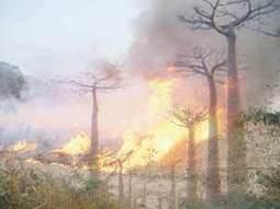 L'Allée des baobabs, site touristique incontournable de Madagascar dévastée. | Madagascar Conservation News | Scoop.it